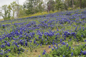 Bluebonnet road trip, April 2014.
